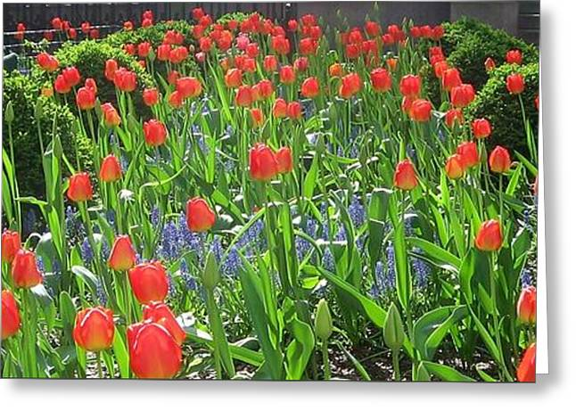 Nyc Tulips Greeting Card by John Hintz