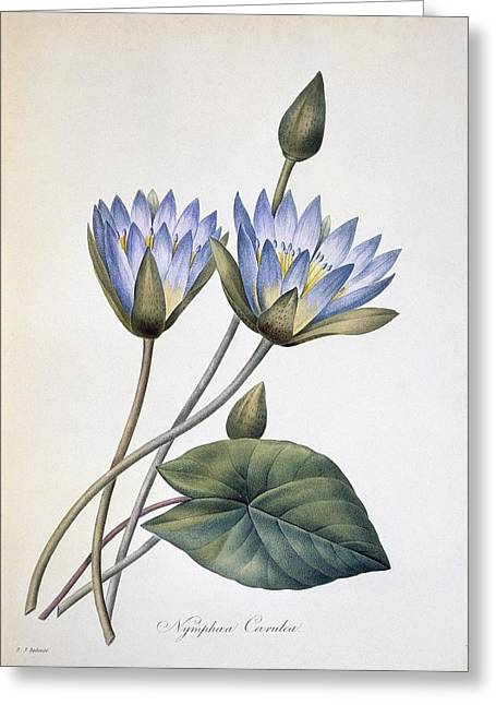 Nenuphar Greeting Cards - Nymphaea caerula, 19th century Greeting Card by Science Photo Library