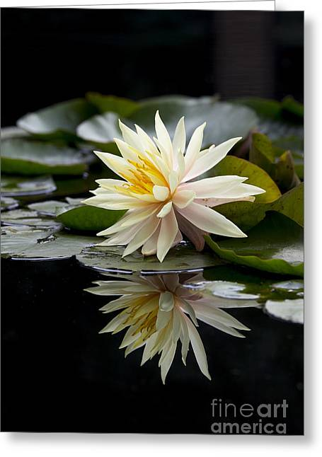 Flora Images Greeting Cards - Nymphaea Maria and Reflection Greeting Card by Tim Gainey