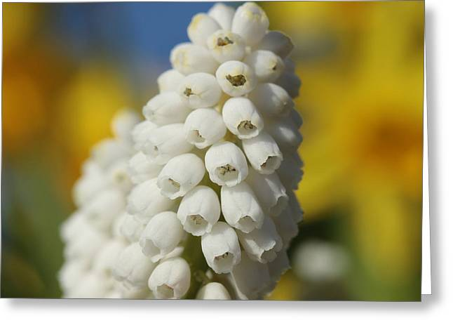 Grape Hyacinths Greeting Cards - O Glorious Me  Greeting Card by Connie Handscomb