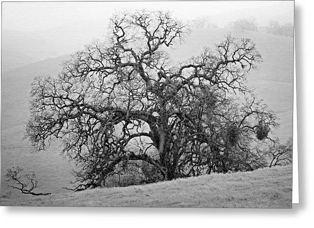 Gnarly Greeting Cards - Oak in Fog Greeting Card by Kay Price