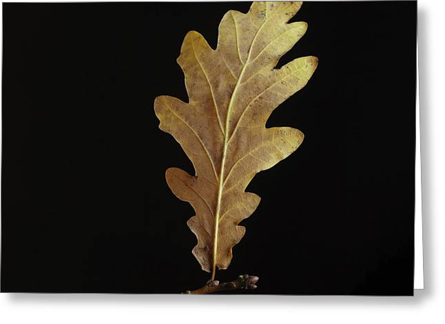 Fallen Leaf Greeting Cards - Oak leaf Greeting Card by Bernard Jaubert