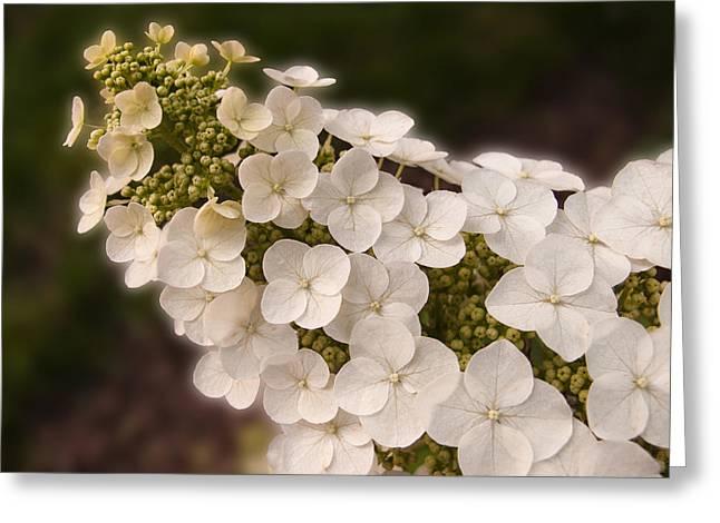Oak Leaf Greeting Cards - Oak-Leaf Hydrangea Greeting Card by Don Spenner