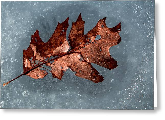 Maine Spring Greeting Cards - Oak Leaf on Ice Greeting Card by Norm Rodrigue