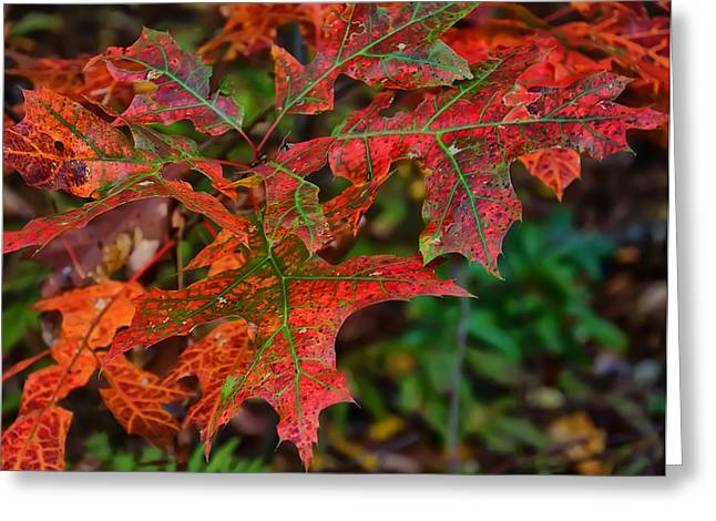Fall Photos Greeting Cards - Oak leaves fall Greeting Card by Chris Flees