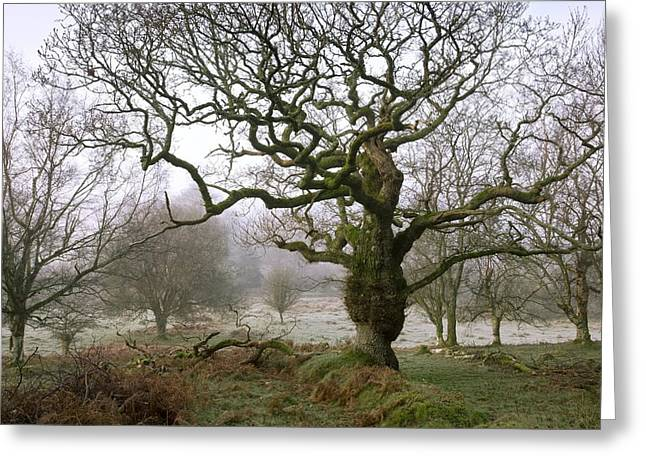 Bare Oak Tree Greeting Cards - Oak (Quercus robur) trees on a moor Greeting Card by Science Photo Library
