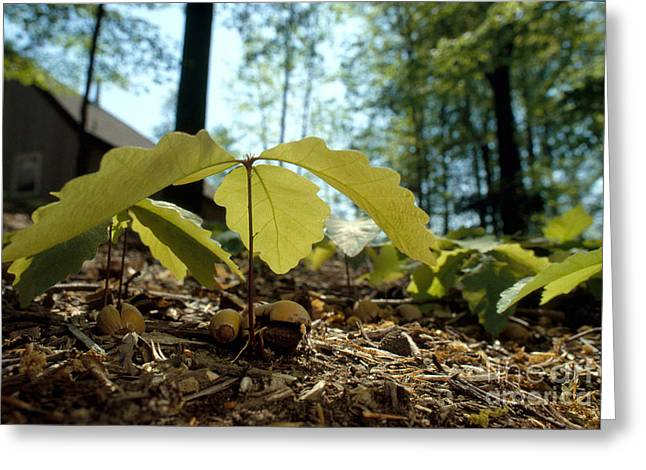 Acorn Greeting Cards - Oak Seedlings Greeting Card by James L. Amos