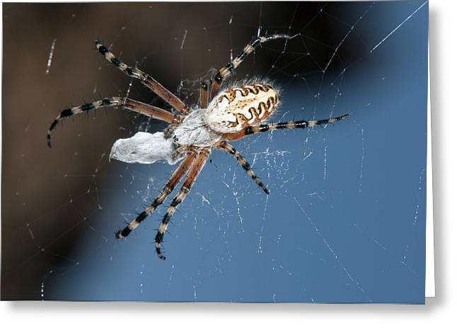 Eating Entomology Greeting Cards - Oak spider with prey Greeting Card by Science Photo Library