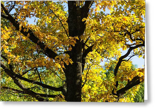 Woodland Scenes Greeting Cards - Oak Tree in October - Feature 2 Greeting Card by Alexander Senin