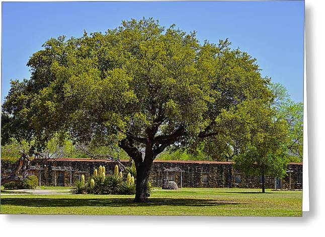 Tall Trees Greeting Cards - Oak Tree Mission San Jose TX Greeting Card by Christine Till