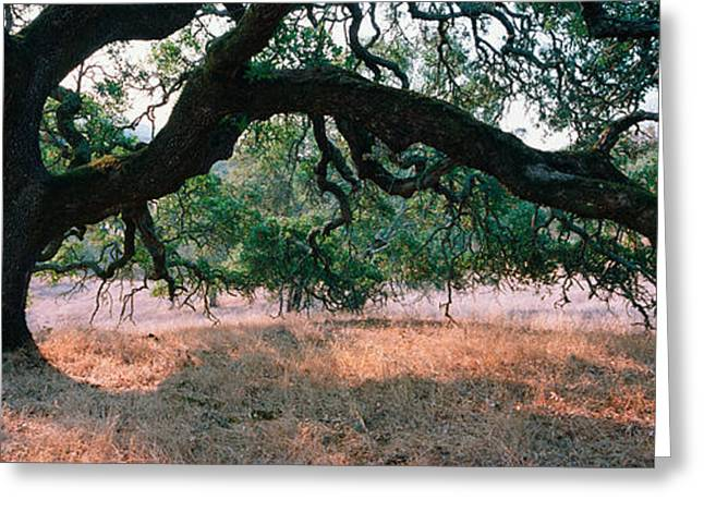 Sonoma Greeting Cards - Oak Tree On A Field, Sonoma County Greeting Card by Panoramic Images