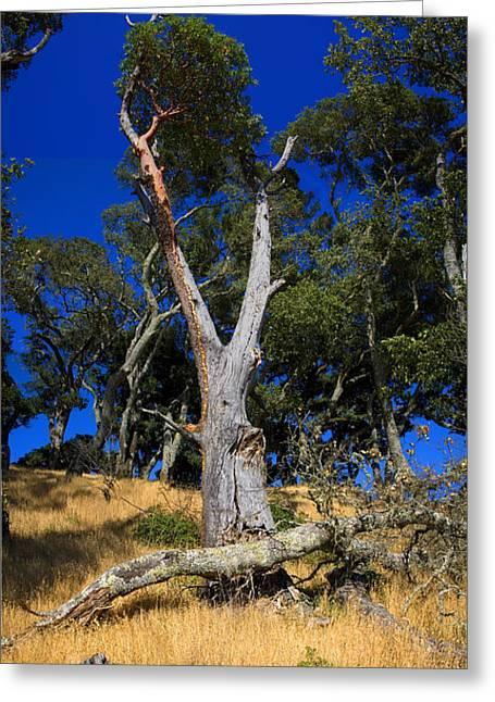 Marin County Greeting Cards - Oak Trees Bon Tempe Lake Marin County Greeting Card by Wernher Krutein