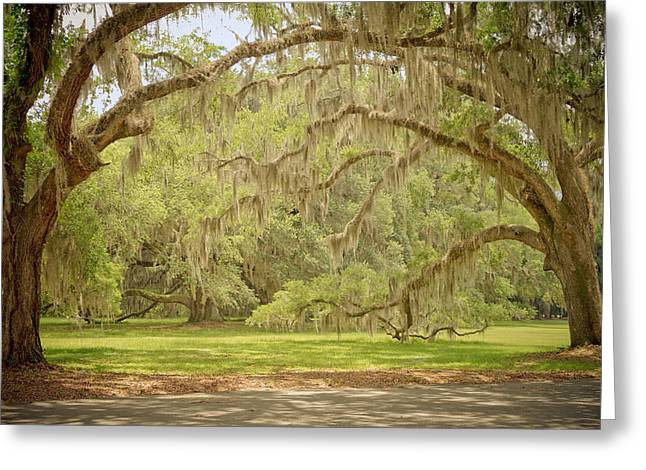 Historic Site Greeting Cards - Oak Trees Draped with Spanish Moss Greeting Card by Kim Hojnacki
