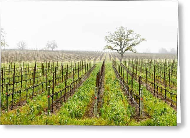 Vineyard Scene Greeting Cards - Oak Trees In A Vineyard, Guerneville Greeting Card by Panoramic Images