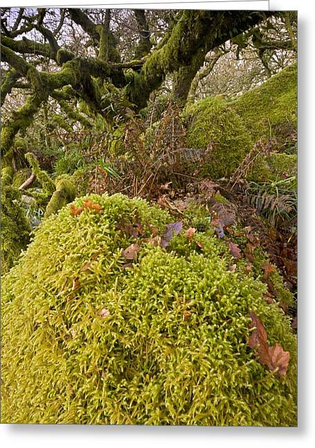 Epiphyte Greeting Cards - Oak woodland on Dartmoor Greeting Card by Science Photo Library