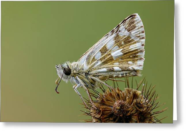 Oberthur's Grizzled Skipper Greeting Card by Heath Mcdonald