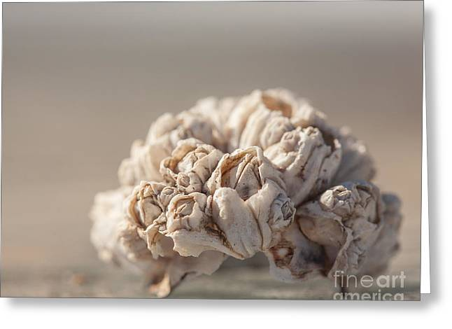 Sea Shell Art Greeting Cards - Ocean Barnacles  Greeting Card by Lucid Mood