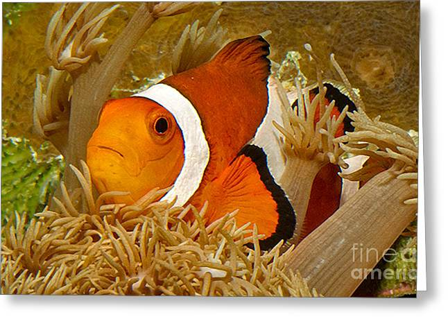 Demoiselles Greeting Cards - Ocellaris Clown Fish No 1 Greeting Card by Jerry Fornarotto