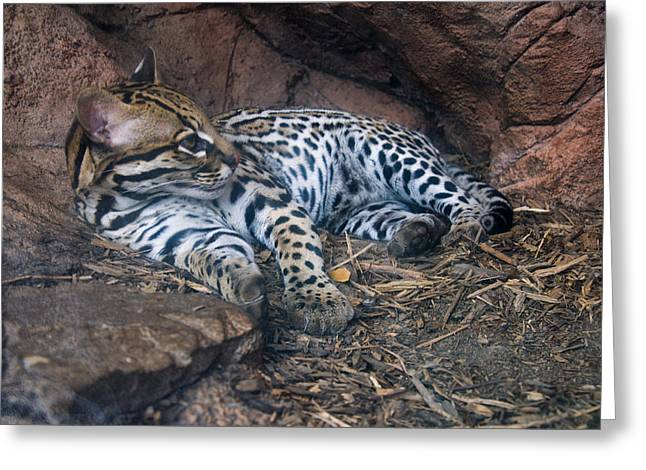 Pictures Of Cats Greeting Cards - Ocelot in den Greeting Card by Chris Flees