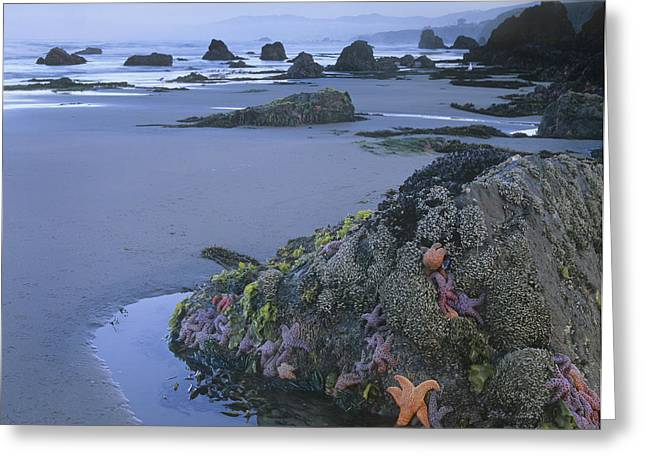 Star Fish Greeting Cards - Ochre Sea Stars At Low Tide Miwok Beach Greeting Card by Tim Fitzharris