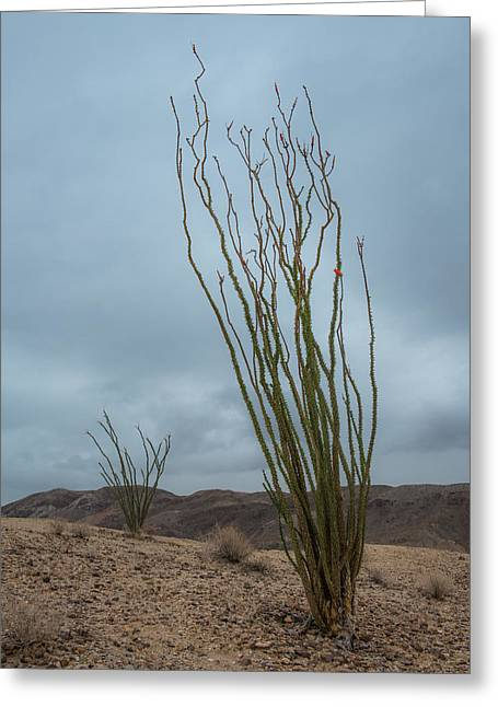 Ocotillo With Bloom Greeting Card by Joseph Smith
