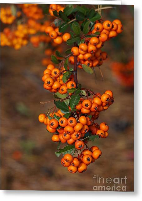 Faa Featured Greeting Cards - October berries Greeting Card by Zori Minkova