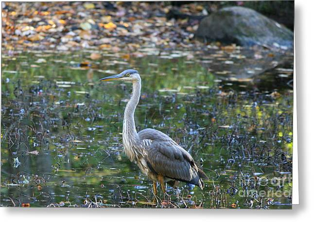 Bird Photography Greeting Cards - October Heron  Greeting Card by Neal  Eslinger