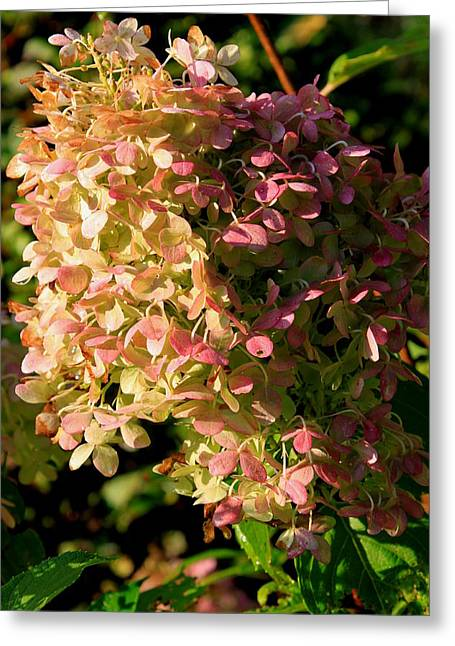 Purple Hydrangeas Greeting Cards - October Hydrangea Greeting Card by Hanne Lore Koehler