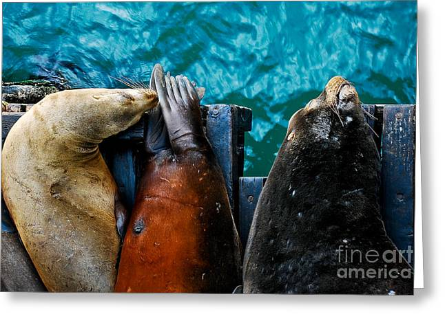 Sea Lions Greeting Cards - Odd Man Out California Sea Lions Greeting Card by Terry Garvin