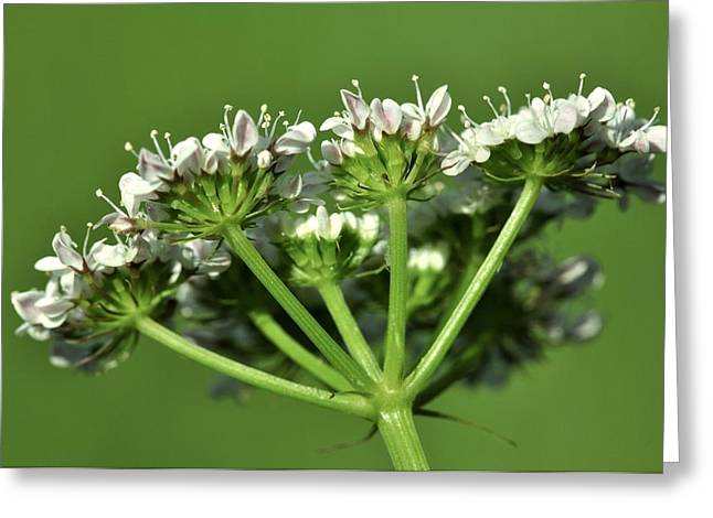 Biological Greeting Cards - Oenanthe pimpinelloides in flower Greeting Card by Science Photo Library