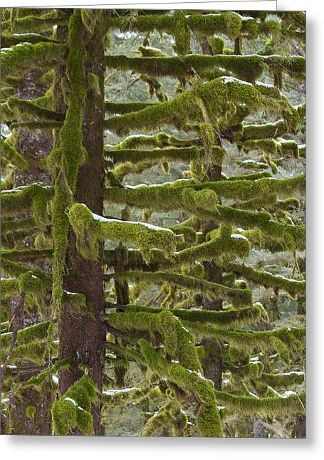 Kodiak Greeting Cards - Of Moss and Snow Greeting Card by Tim Grams