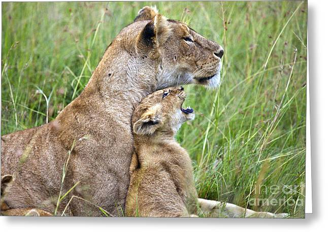 Lioness Greeting Cards - Oh Mom Greeting Card by Timothy Hacker