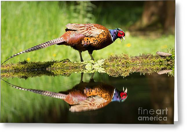 Wattle Greeting Cards - Oh my what a handsome pheasant Greeting Card by Louise Heusinkveld