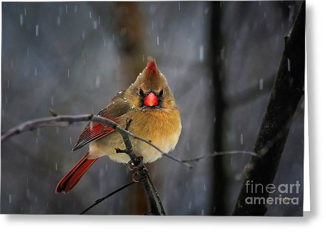 Red Bird In Snow Greeting Cards - Oh No Not Again Greeting Card by Lois Bryan