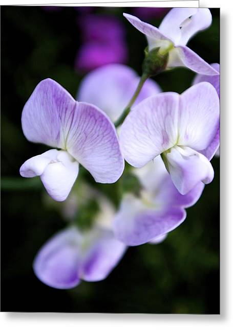 Vancouver Island Greeting Cards - Oh Sweet Pea Greeting Card by Travis Crockart