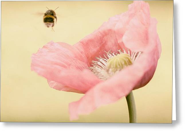 Bumblebee Greeting Cards - Oh to catch a Bumblebee Greeting Card by Constance Fein Harding