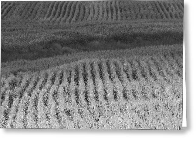 The Cornfield Greeting Cards - Ohio Cornfield Greeting Card by Dan Sproul