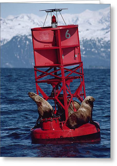 Oil Stained Stellers Sea Lions Prince Greeting Card by Flip Nicklin