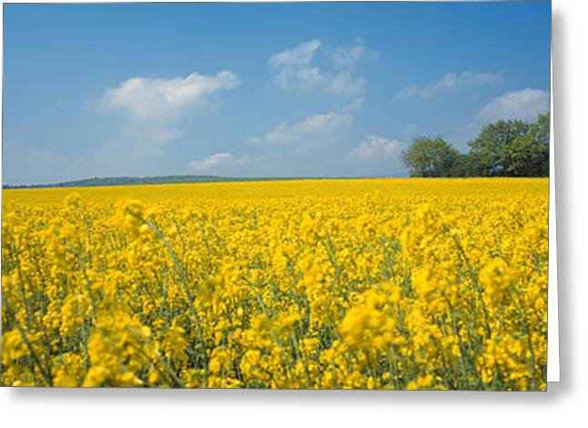 Brassica Greeting Cards - Oilseed Rape Brassica Napus Crop Greeting Card by Panoramic Images