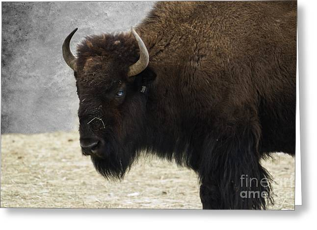 American Bison Greeting Cards - Ol Blue Eyes Greeting Card by Juli Scalzi