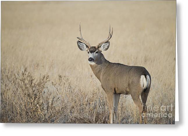 Mule Deer Buck Photograph Greeting Cards - Ol Broken Horn Greeting Card by Dianne Phelps