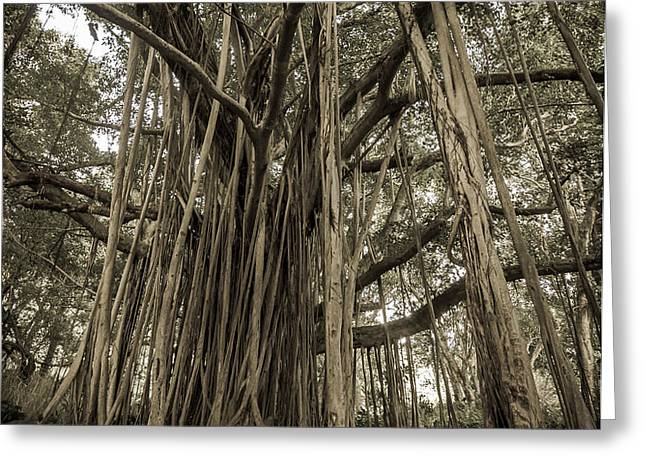 Old Banyan Tree Greeting Card by Adam Romanowicz