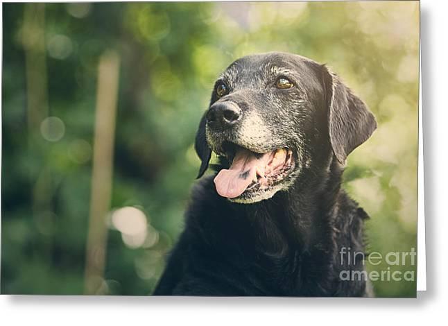 Old Labrador Greeting Cards - Old Black Labrador Greeting Card by Justin Paget
