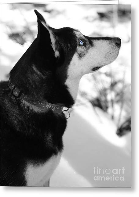 Huskies Greeting Cards - Old Blue Eye Greeting Card by Carol Groenen