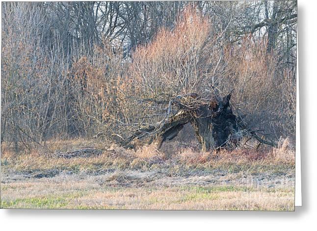 Beautiful Winter Willow Tree  Yellow Greeting Cards - Old Burnt Willow in Winter Greeting Card by Ferenc Kosa