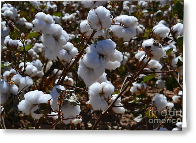 Cotton Balls Greeting Cards - Old Cotton Fields Back Home Greeting Card by Beverly Guilliams
