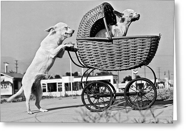 Old Dogs Perform Old Tricks Greeting Card by Underwood Archives