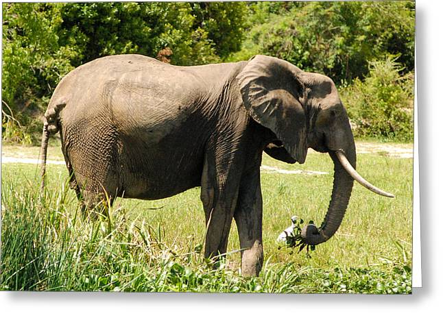 Geobob Greeting Cards - Old Elephant Feeding Albert Nile Wetlands Murchison Falls National Park Uganda Africa Greeting Card by Robert Ford