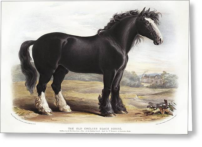 Equus Caballus Greeting Cards - Old English Black Horse, 19th century Greeting Card by Science Photo Library