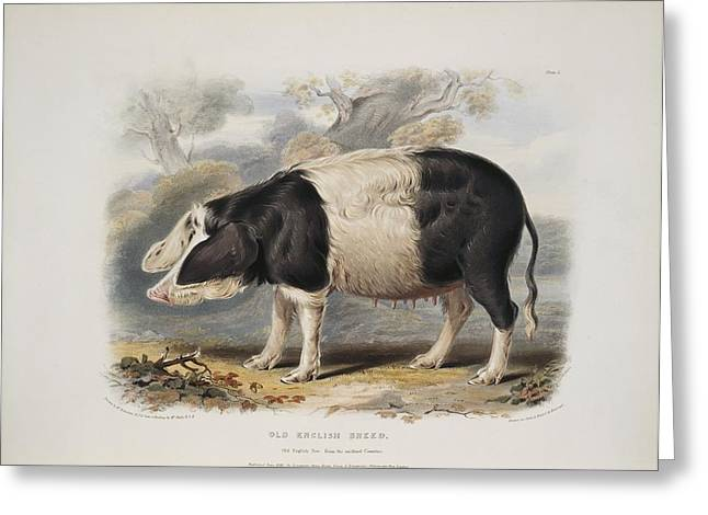 Eutheria Greeting Cards - Old English breed sow, artwork Greeting Card by Science Photo Library